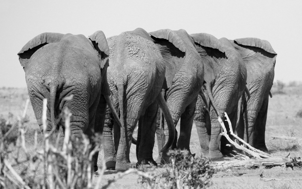 Satao, second from the rear, in the company of his fellow Tsavo bulls