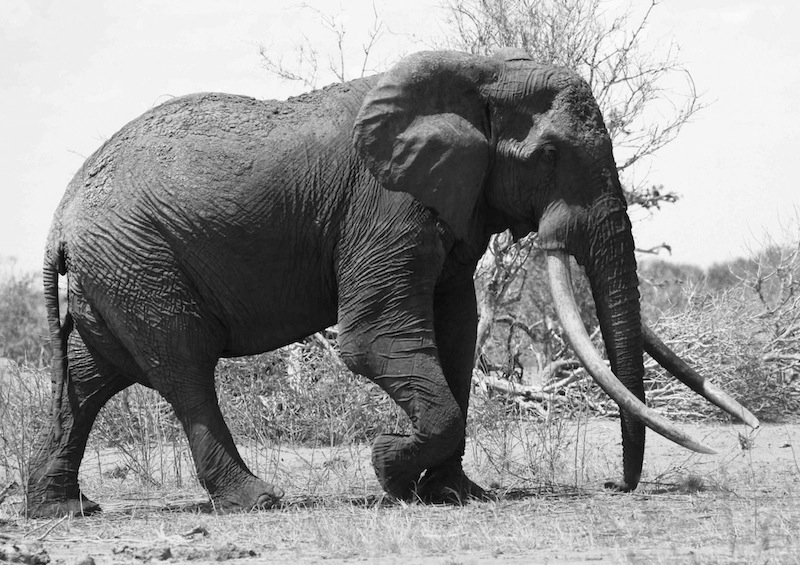 Satao, a mighty beast and one of Tsavo's best loved icons