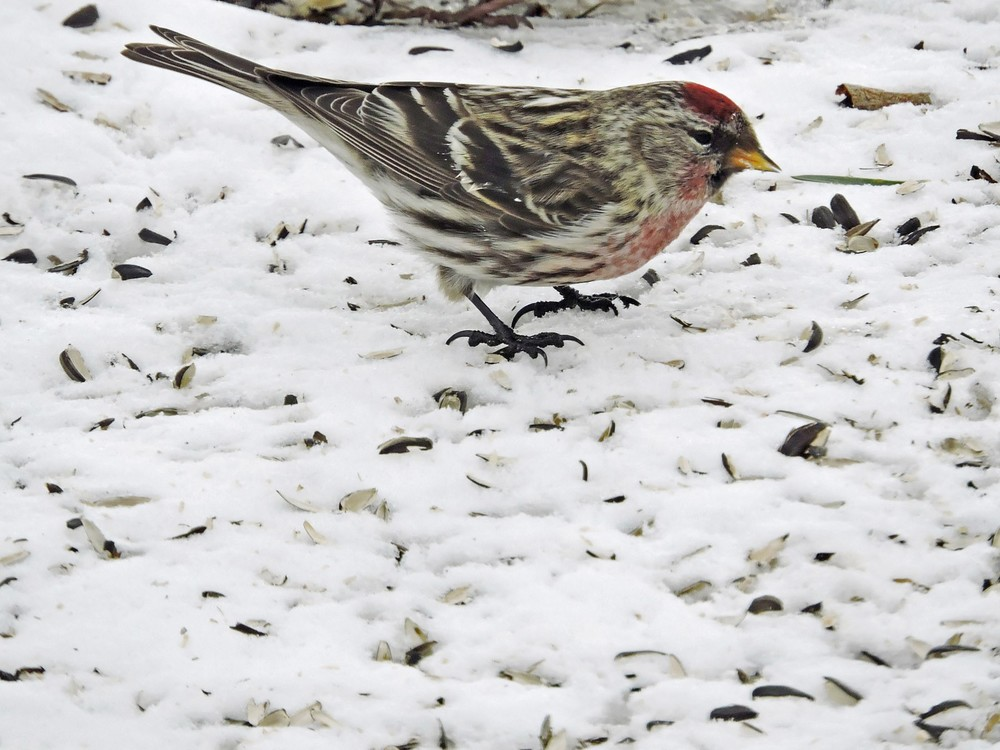 This picture of a Common Redpoll feeding on the ground beneath the bird feeders in our yard in Algoma was taken by Bob Kuhn from his kitchen window on February 17, 2015 at 12:15p.m.