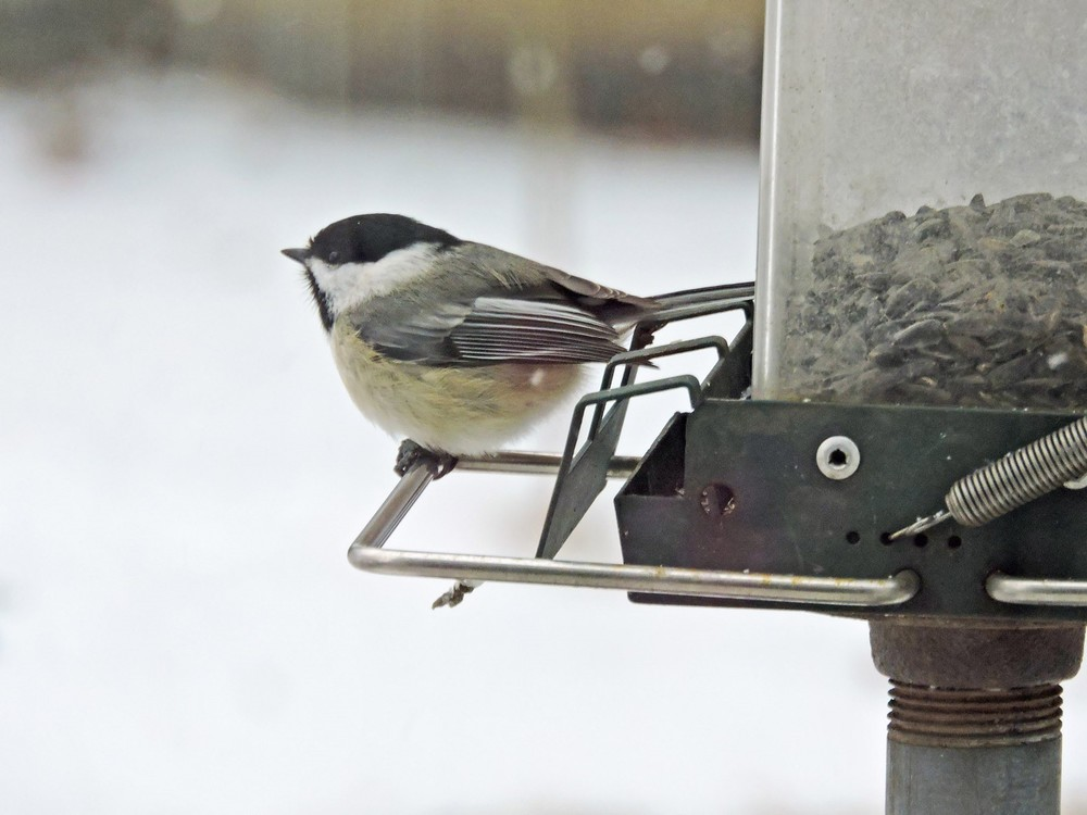 This picture of a Black-capped Chickadee feeding on one of the bird feeders in our yard in Algoma was taken by Bob Kuhn from his kitchen window on February 16, 2015 at 8:01p.m.