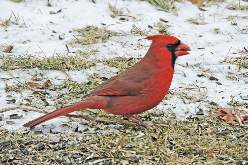 This picture of a male Northern Cardinal feeding on the ground beneath the bird feeders in our yard in Algoma was taken by Bob Kuhn from his kitchen window on January 31, 2015 at 8:47a.m.   Did you see the seed in the bird's mouth??
