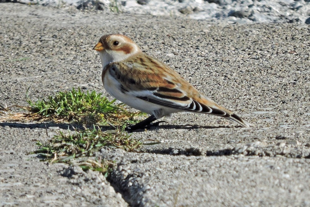 This picture of a Snow Bunting on the South breakwater in Algoma was taken by Bob Kuhn on October 22, 2014 at 2:12pm.