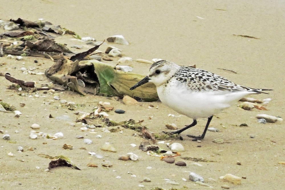 This picture of a Sanderling on Crescent Beach in Algoma was taken by Bob Kuhn from the Visitor's Center balcony on September 29, 2014 at 11:12am.