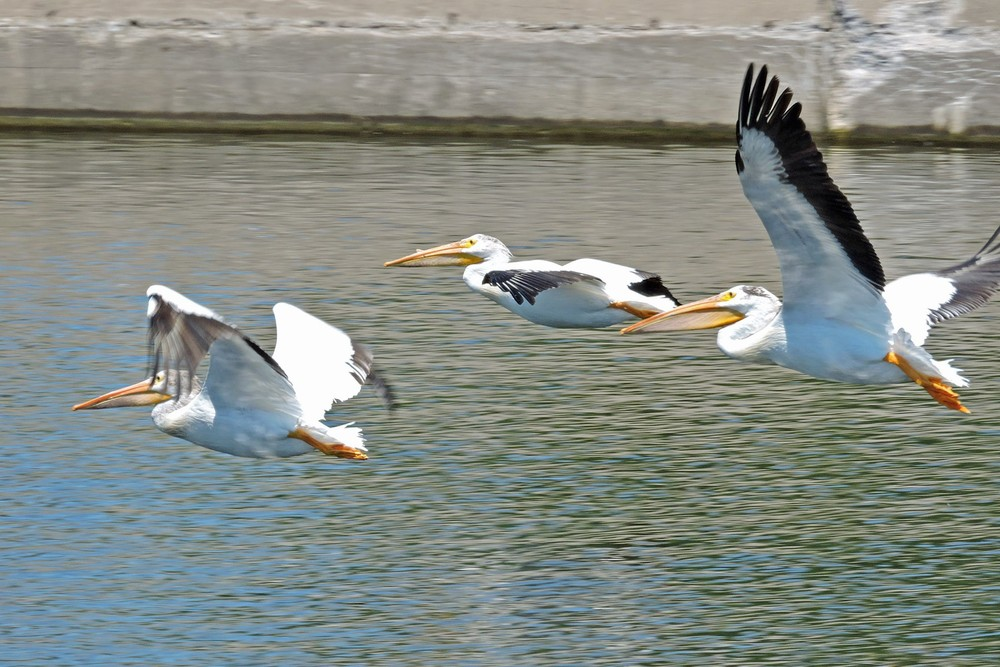 This picture of a group of three American White Pelicans flying over the Ahnapee River in Algoma was taken by Bob Kuhn from the Christmas Tree Ship Point parking lot on July 10, 2014 at 1:29pm.