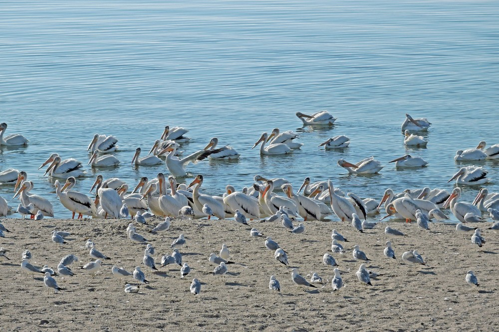 This picture of a flock of American White Pelicans on Crescent Beach in Algoma was taken by Bob Kuhn on July 10, 2014 at 7:50am.