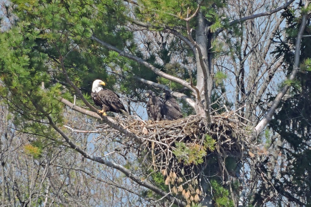 This picture of a Bald Eagle's nest North of Algoma was taken by Bob Kuhn on May 21, 2014 at 9:39am.  It shows one adult eagle and two young ones.
