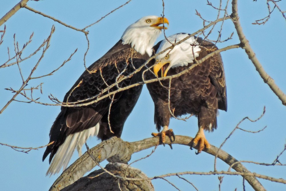 This picture of two bald eagles sitting in their favorite tree along Lakeview Drive in Algoma was taken by Bob Kuhn on February 9, 2014 at 3:42pm.