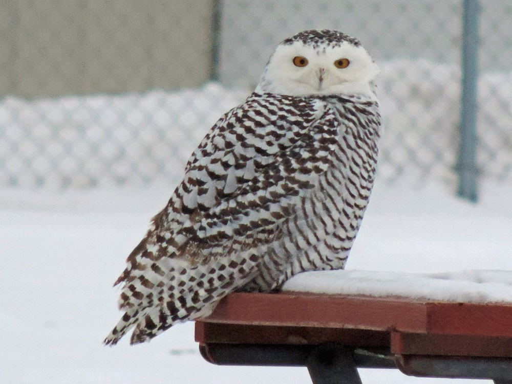 This picture of a young snowy owl sitting on a picnic table at Perry Field in Algoma was taken by Bob Kuhn on January 5, 2014 at 2:50pm.