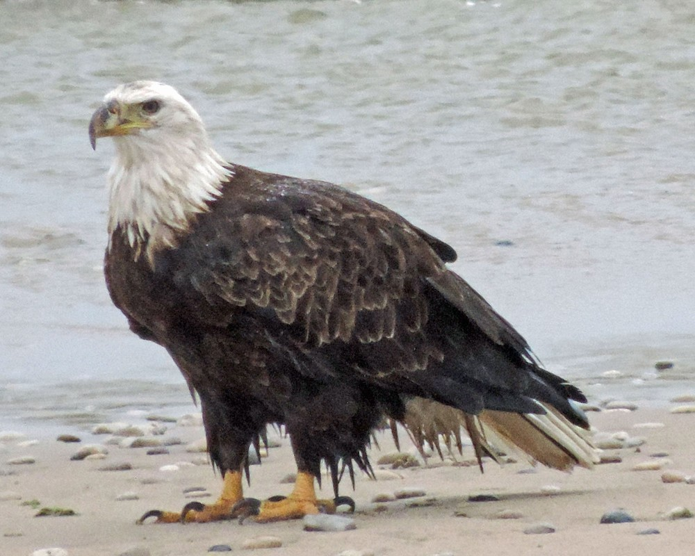 This picture of a bald eagle standing on Crescent Beach in Algoma in the rain was taken by Bob Kuhn on November 6, 2013 at 10:13am.