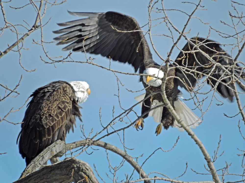This picture of two bald eagles in their favorite tree along Lakeview Dr in Algoma was taken by Bob Kuhn on February 26, 2015 at 1:53p.m.