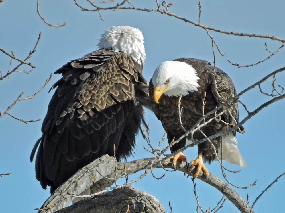 This picture of two bald eagles sitting in their favorite tree along Lakeview Dr in Algoma was taken by Bob Kuhn on February 26, 2015 at 1:53p.m.