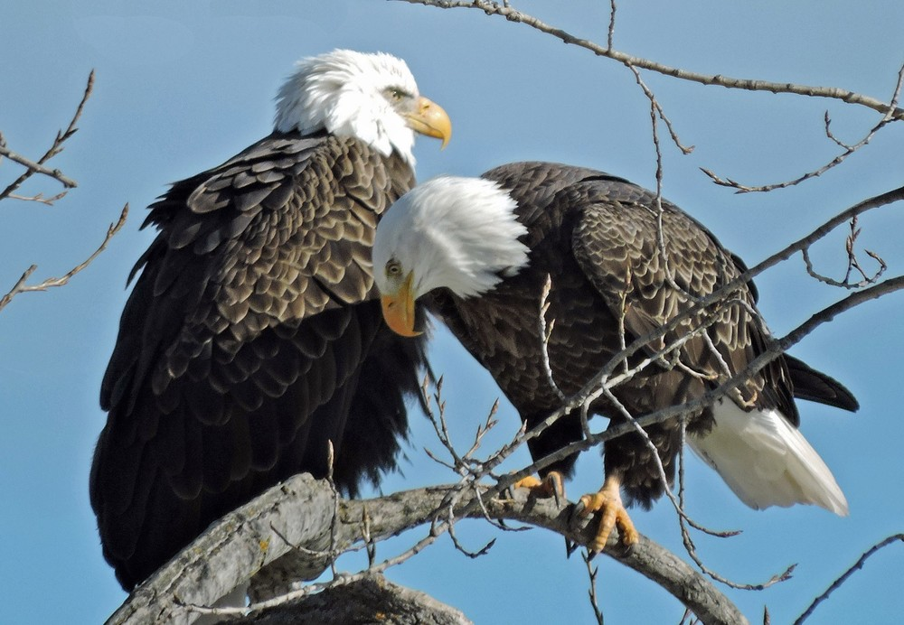 This picture of two bald eagles sitting in their favorite tree along Lakview Dr in Algoma was taken by Bob Kuhn on February 26, 2015 at 1:53p.m.
