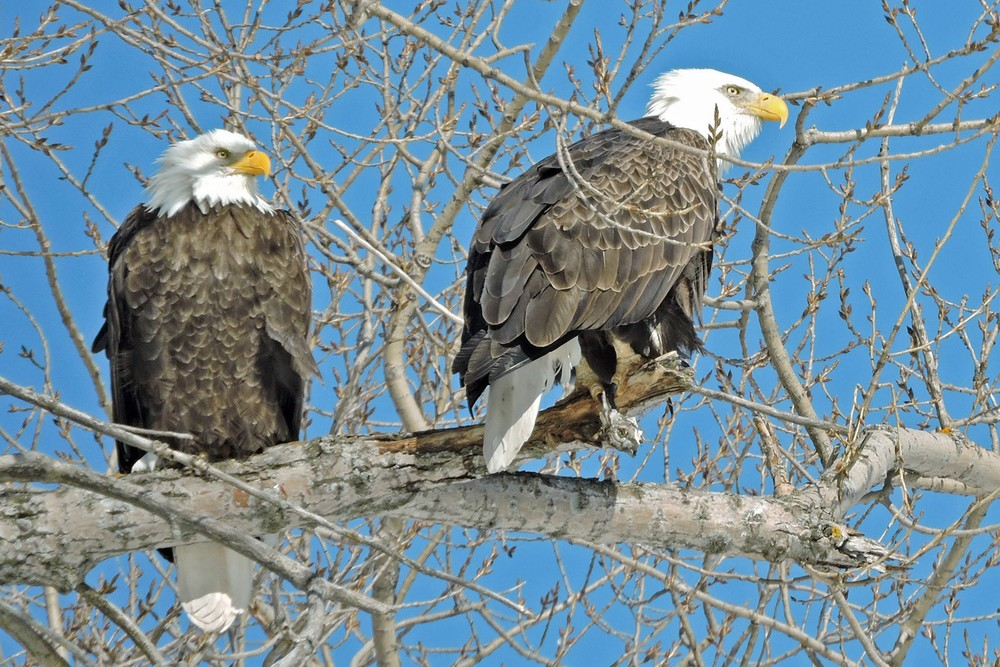This picture of two bald eagles sitting in a tree between the City Marina and the Youth Club in Algoma was taken by Bob Kuhn on March 5, 2015 at 11:56a.m.