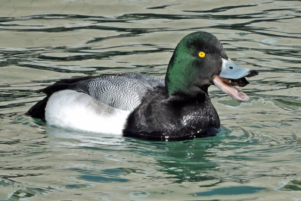 This picture of a male scaup eating something that he brought up from the bottom of the Ahnapee River in Algoma was taken by Bob Kuhn from the Harbor Walk on March 9, 2015 at 2:34 p.m.