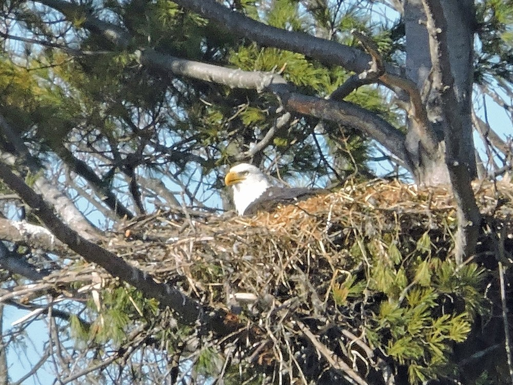 This picture of a bald eagle sitting on its nest North of Algoma was taken by Bob Kuhn on March 11, 2015 at 10:07 a.m.