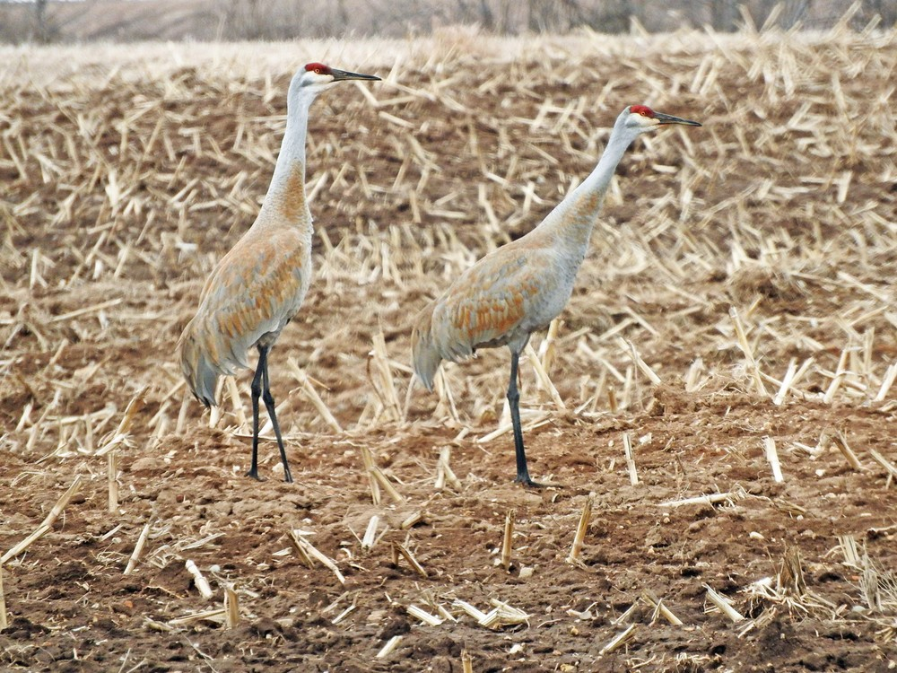 This picture of a pair of Sandhill Cranes standing in a field along Highway S North of Algoma was taken by Bob Kuhn on April 1, 2015 at 10:28am.