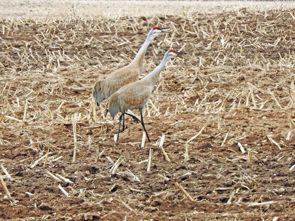 This picture of a pair of Sandhill Cranes calling in a field along Highway S North of Algoma was taken by Bob Kuhn on April 1, 2015 at 10:28am.