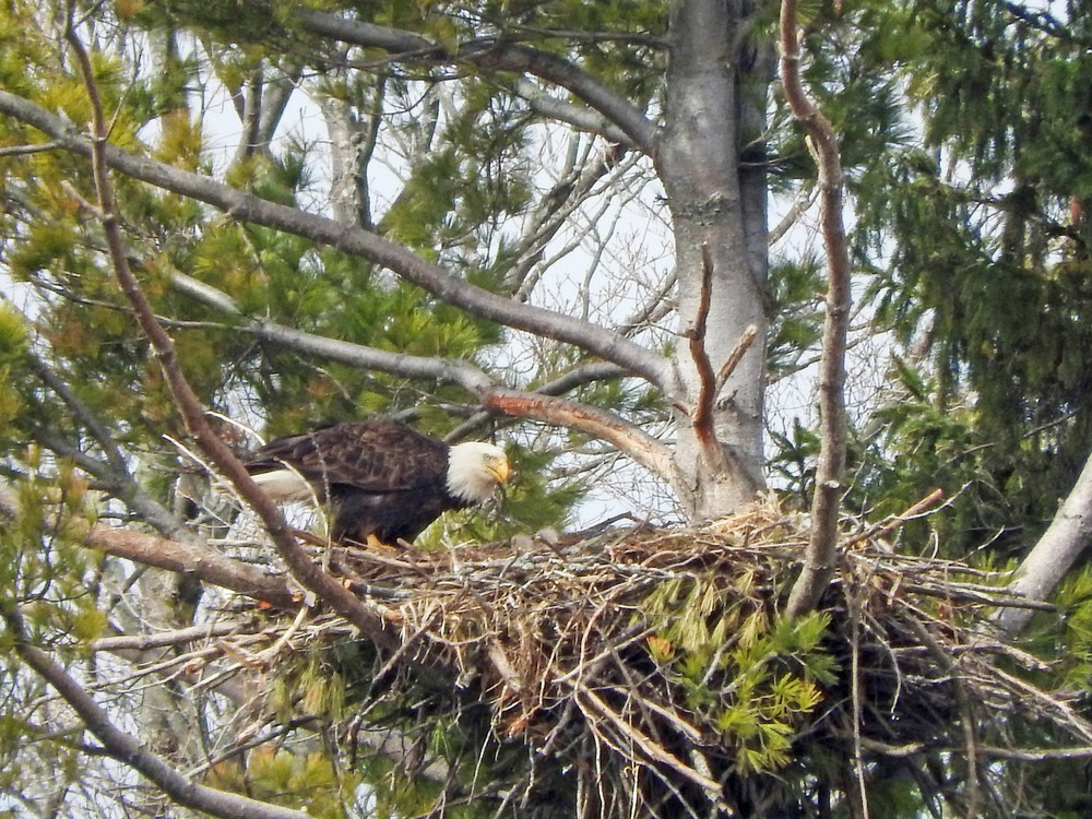 This picture of a bald eagle feeding two baby eagles in their nest North of Algoma was taken by Bob Kuhn on April 10, 2015 at 10:39am.