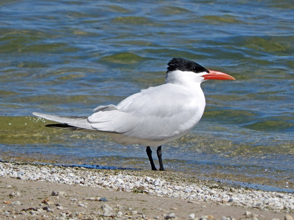 This picture of a Caspian tern standing on Crescent Beach in Algoma was taken by Bob Kuhn on April 15, 2015 at 2:03pm.