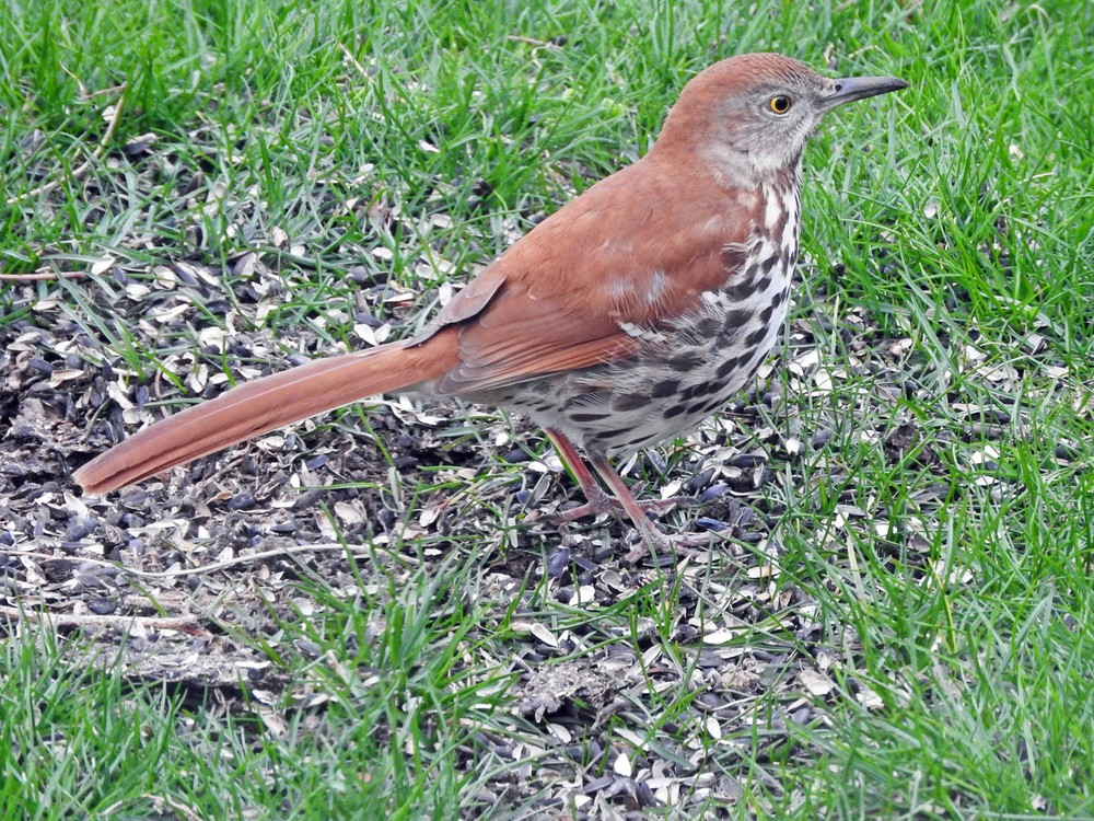 This picture of a Brown Thrasher feeding on the ground beneath the bird feeders in our yard was taken by Bob Kuhn on Aril 30, 2015 at 8:32 am.