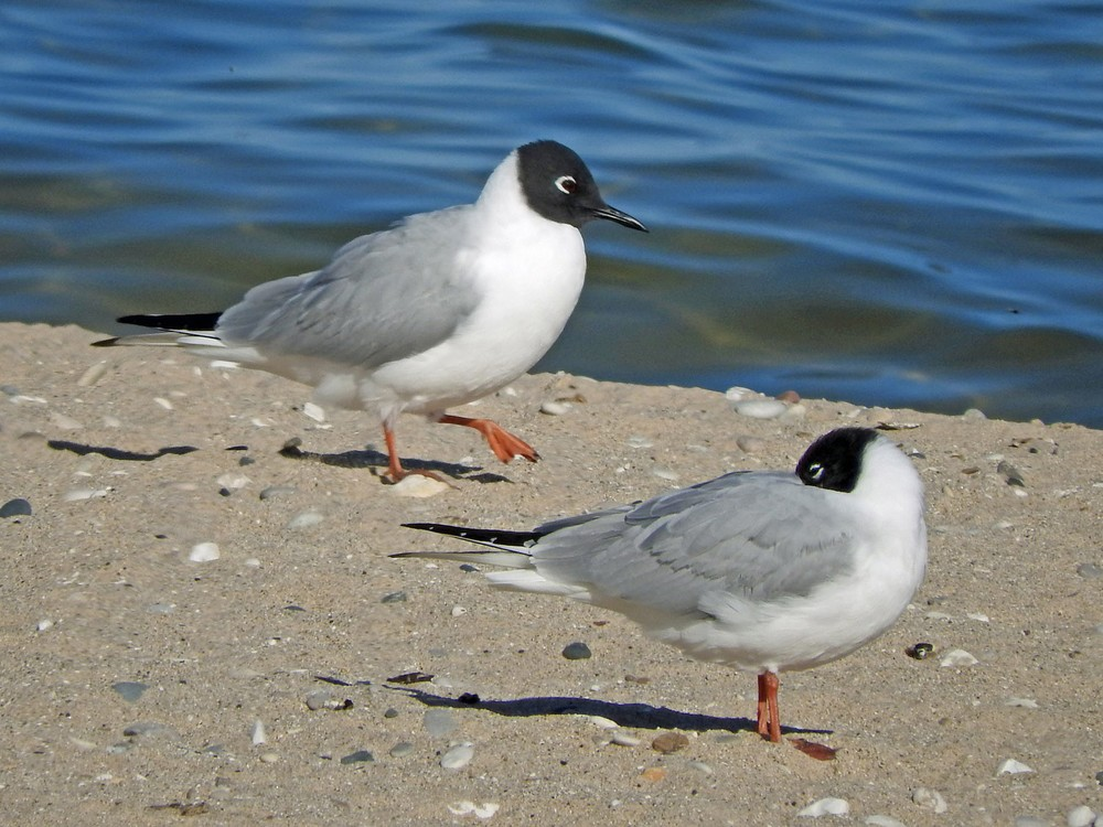 This picture of two Bonaparte's Gulls on Crescent Beach in Algoma was taken by Bob Kuhn on April 30, 2015 at 5:06pm.