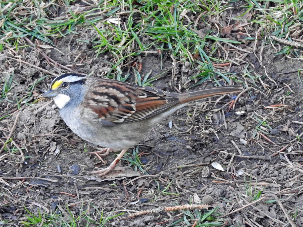 This picture of a White-throated Sparrow feeding on the ground beneath the bird feeders outside our kitchen window was taken by Bob Kuhn on May 3, 2015 at 7:24 a.m.