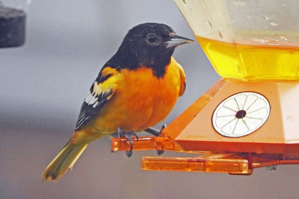 This picture of a Baltimore Oriole feeding on an oriole feeder outside our kitchen window was taken by Bob Kuhn on May 11, 2015 at 5:58 p.m.