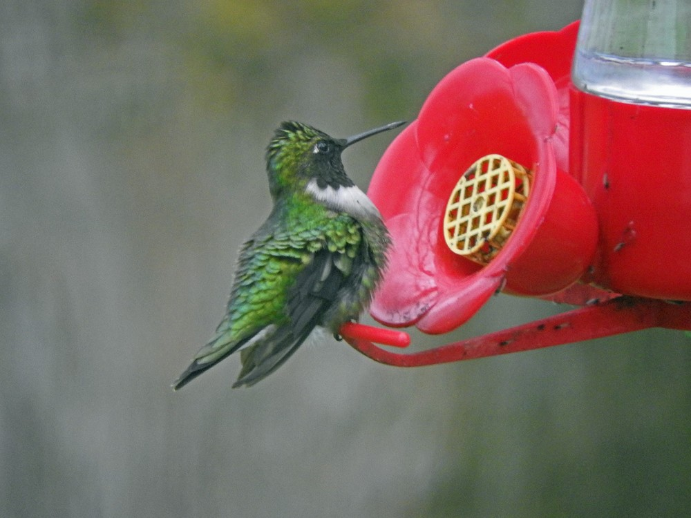 This picture of a Ruby-throated Hummingbird feeding on a hummingbird feeder outside our kitchen window was taken by Bob Kuhn on May 12, 2015 at 8:08 a.m.