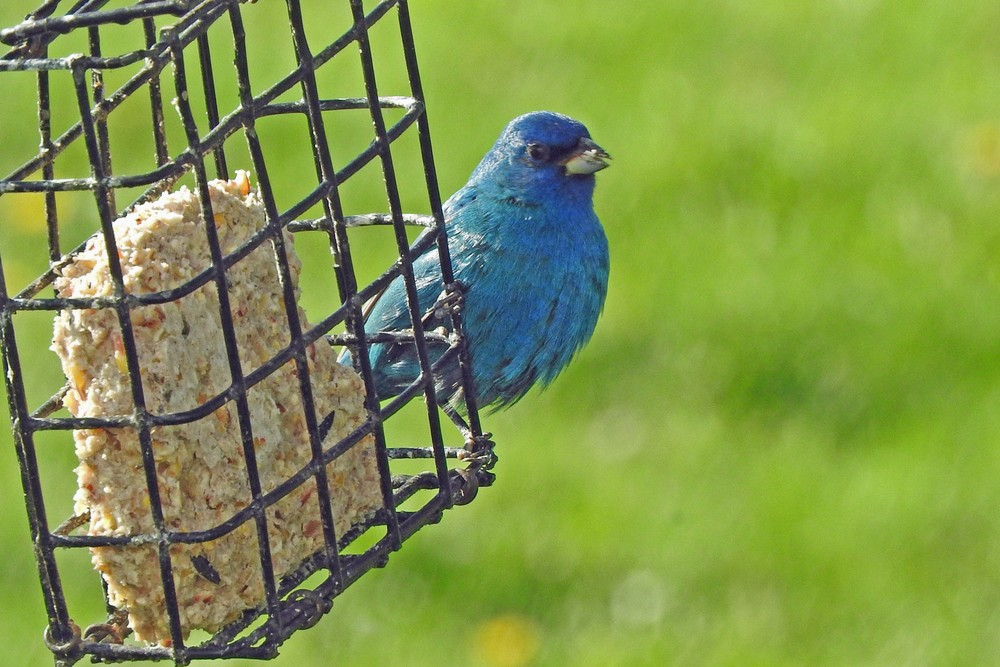 This picture of an Indigo Bunting feeding on a suet feeder outside our kitchen window was taken by Bob Kuhn on May 13, 2015 at 8:14 a.m.