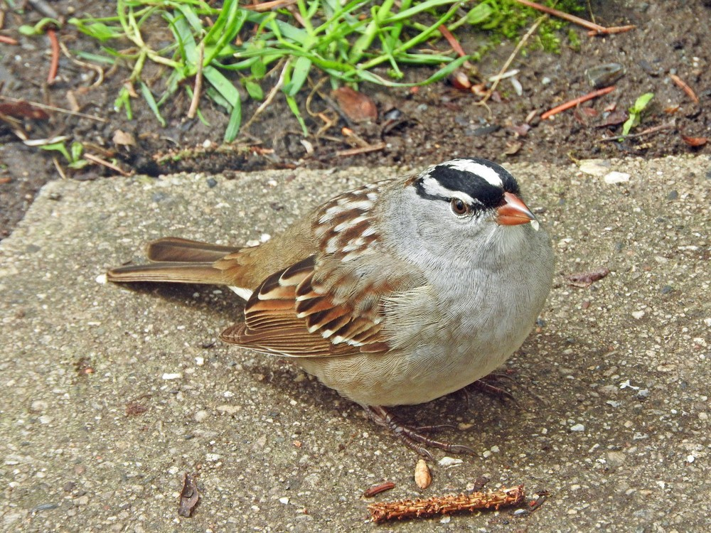 This picture of a white-crowned sparrow resting outside our back door was taken by Bob Kuhn on May 15, 2015 at 11:24 a.m.