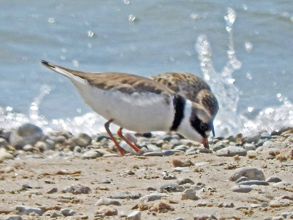This picture of a semipalmated plover feeding on Crescent Beach was taken by Bob Kuhn on May 23, 2015 at 10:21 a.m.