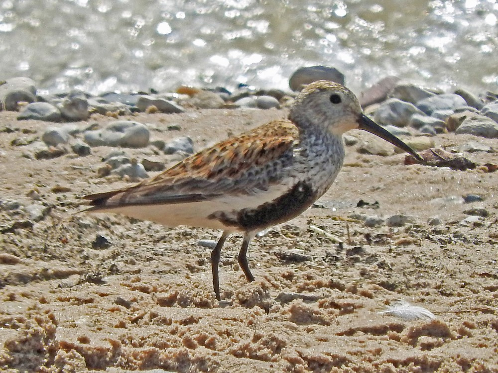 This picture of a dunlin standing on Crescent Beach was taken by Bob Kuhn on May 23, 2015 at 10:29 a.m.