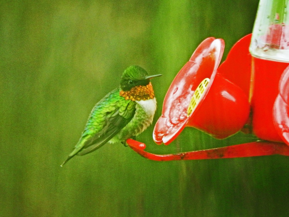 This picture of a ruby-throated hummingbird feeding on the hummingbird feeder outside our kitchen window was taken by Bob Kuhn on May 30, 2015 at 12:50p.m.