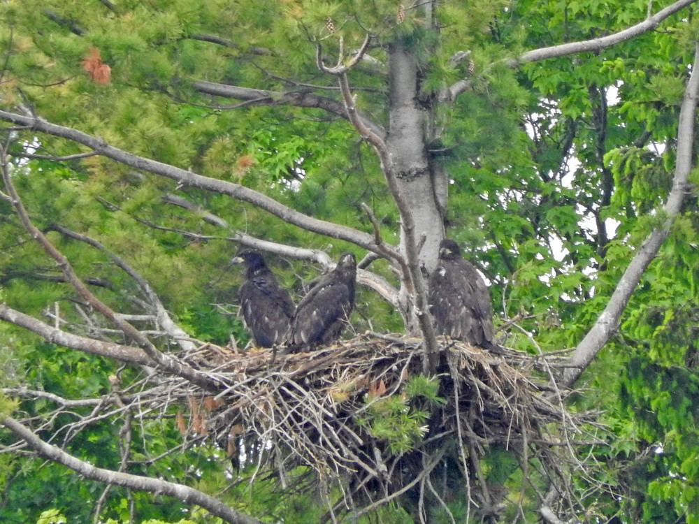 This picture of three young bald eagles standing in their next North of Algoma was taken by Bob Kuhn on June 7, 2015 at 2:25p.m.
