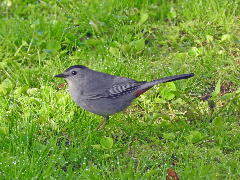 This picture of a gray catbird feeding on the ground beneath the bird feeders outside our kitchen window was taken by Bob Kuhn on May 18, 2015 at 7:15a.m.