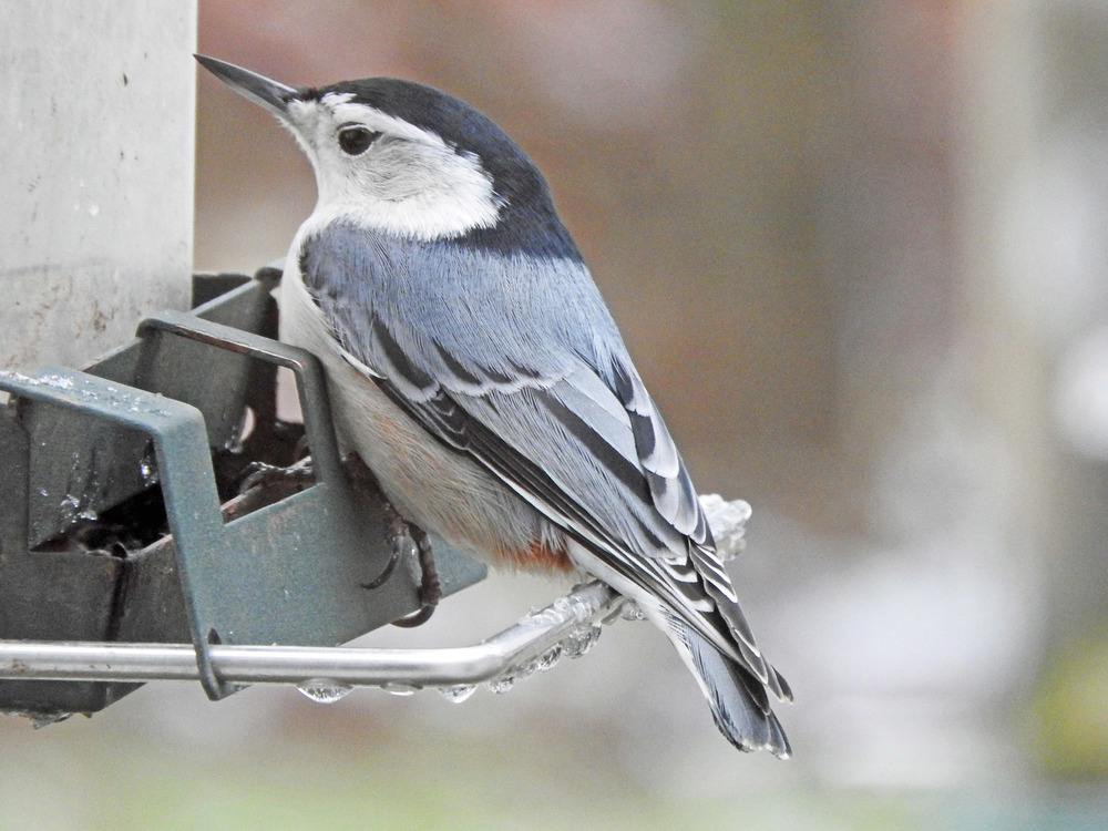This picture of a white-breasted nuthatch feeding on one of the feeders outside our kitchen window was taken by Bob Kuhn on November 27, 2015 at 9:00a.m.