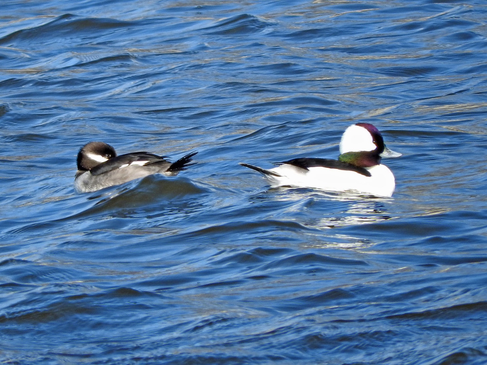 This picture of a pair of bufflehead ducks swimming on the Ahnnapee River was taken from the Christmas Tree Ship Point parking lot by Bob Kuhn on February 29, 2016 at 11:55 a.m.