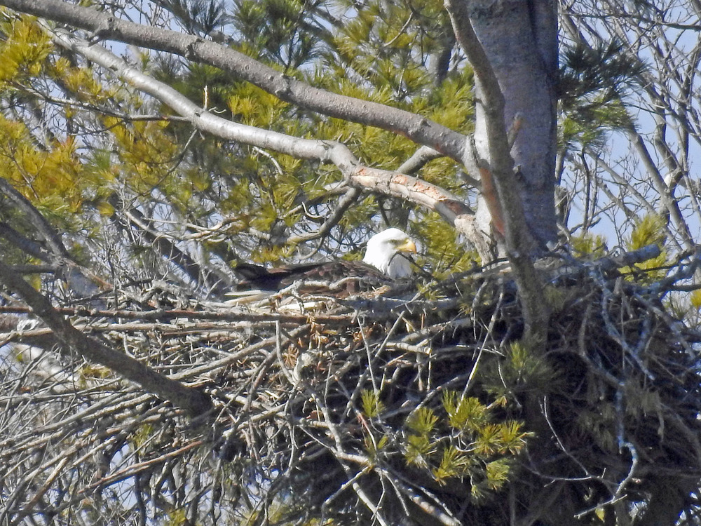 This picture of a bald eagle sitting on its nest north of Algoma was taken by Bob Kuhn on March 9, 2016 at 11:09 a.m.