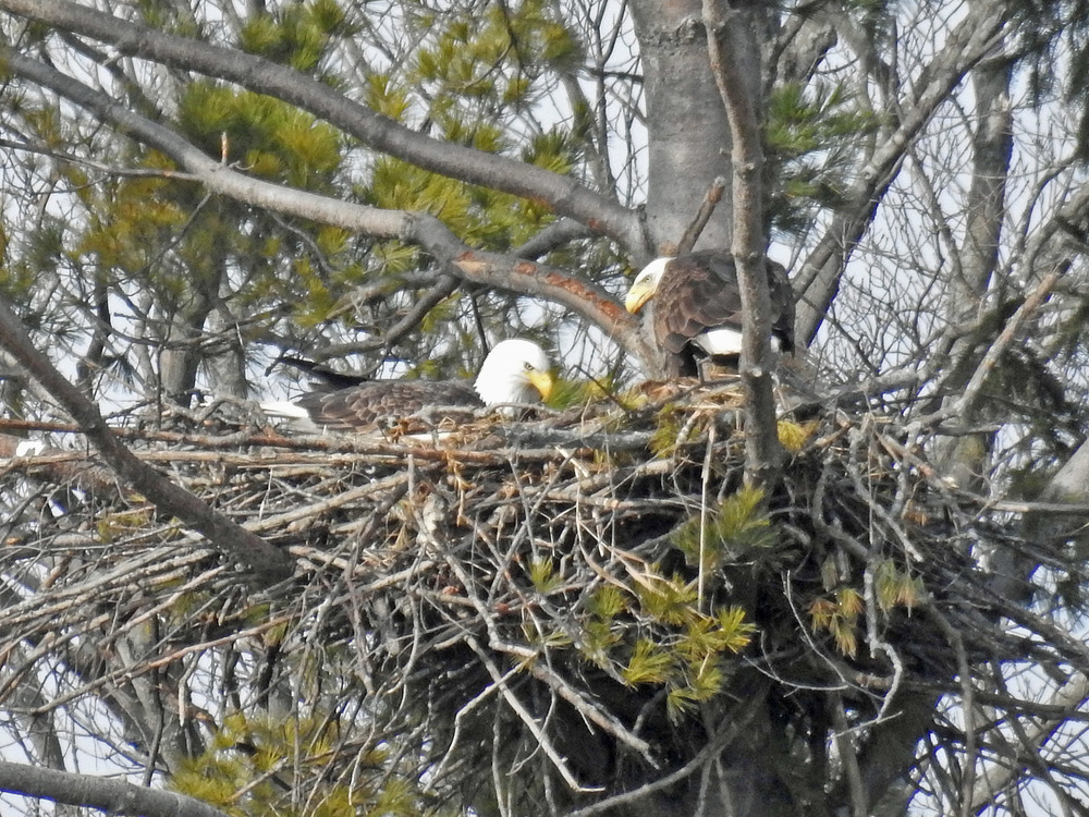 This picture of two bald eagles on their nest north of Algoma was taken by Bob Kuhn on March 12, 2016 at 9:06 a.m.