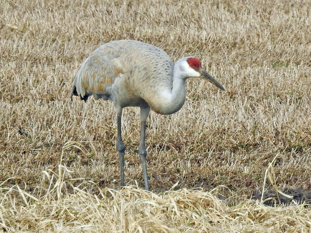 This picture of a sandhill crane feeding in a field along Church Road southwest of Alaska was taken by Bob Kuhn on March 21, 2016 at 3:07 p.m.