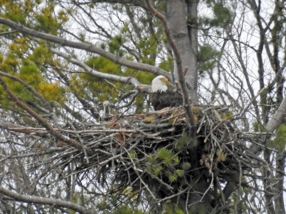 This picture of a baby eagle looking out of its nest north of Algoma was taken by Bob Kuhn on April 19, 2016 at 2:59 p.m.