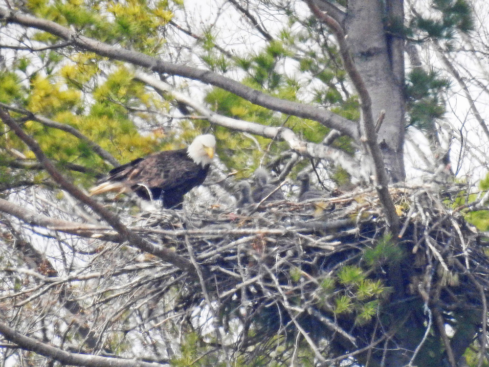 This picture of three baby eagles in their nest north of Algoma was taken by Bob Kuhn on April 21, 2016 at 11:52 a.m.
