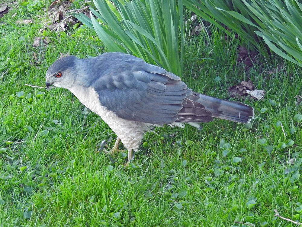 This picture of a sharp-shinned hawk in our back yard in Algoma was taken by Bob Kuhn on April 29, 2016 at 6:19 p.m.