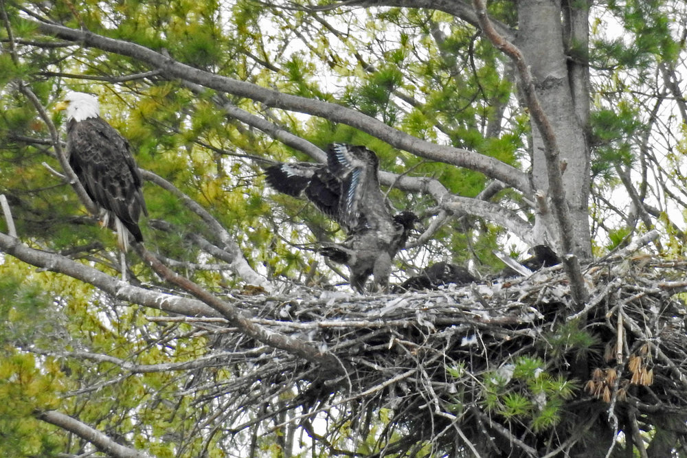 This picture of a young bald eagle stretching its wings was taken by Bob Kuhn on May 13, 2016 at 10:49 a.m.