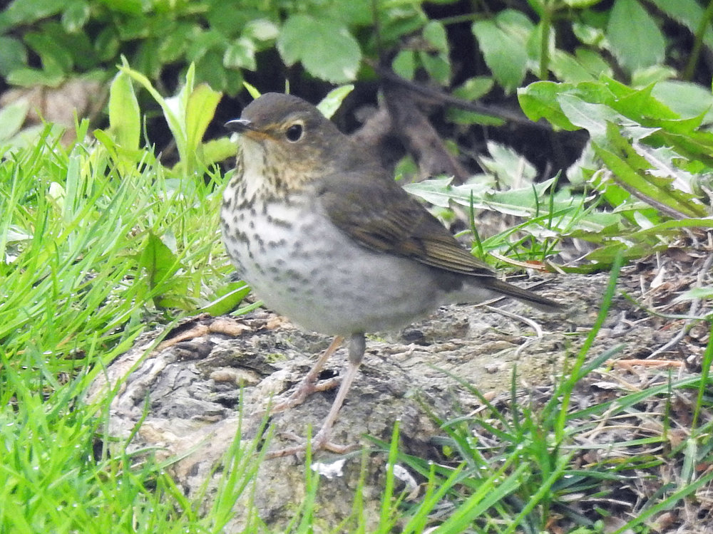 This picture of a gray-cheeked thrush feeding on the ground in our yard was taken from our kitchen window by Bob Kuhn on May 12, 2016, at 12:25 p.m.