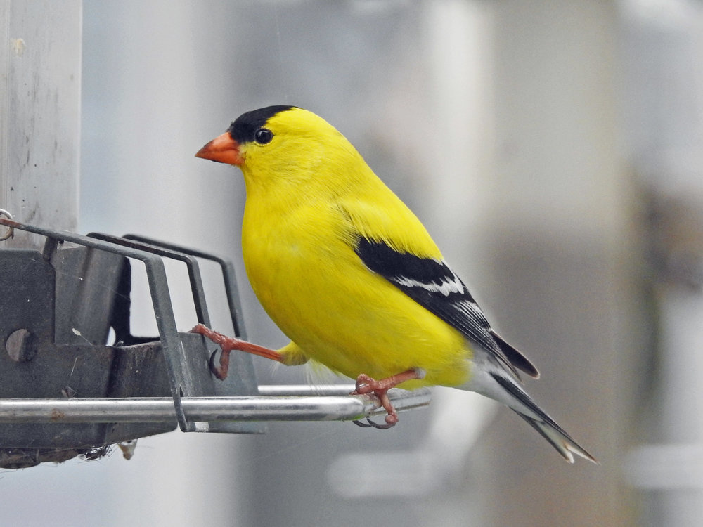 This picture of am American goldfinch feeding on one of the bird feeders outside our kitchen window was taken by Bob Kuhn on May 12, 2016, at 7:49 a.m.