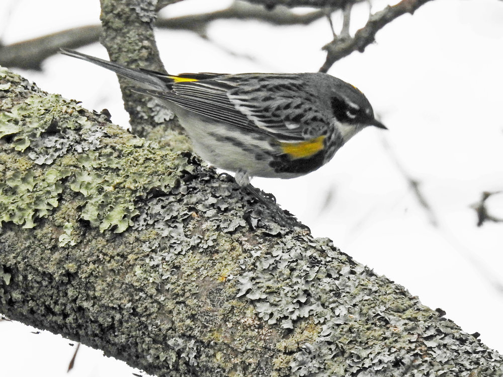 This picture of a yellow-rumped warbler sitting in a tree outside our kitchen window was taken by Bob Kuhn on May 13, 2016, at 5:48 p.m.