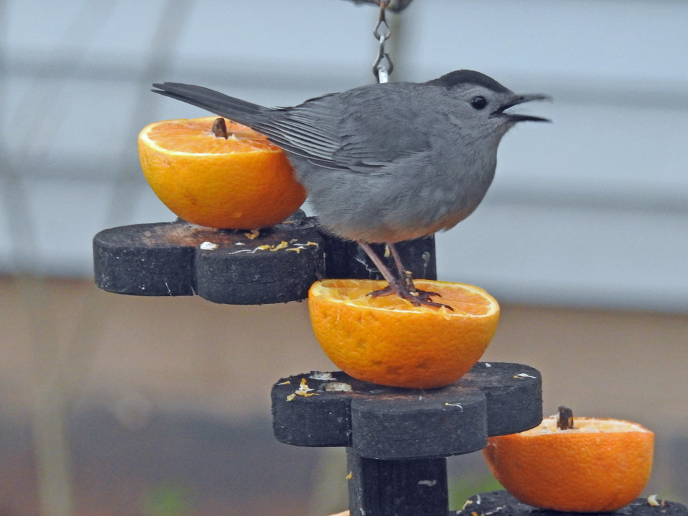 This picture of a gray catbird feeding on an orange half outside our kitchen window was taken by Bob Kuhn on May 15, 2016, at 7:11 a.m.
