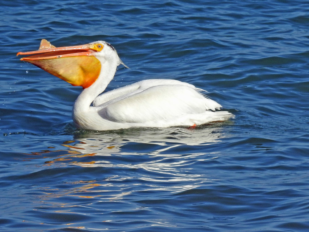 This picture of an American white pelican swallowing a fish in Algoma's harbor was taken from Christmas Tree Ship Point by Bob Kuhn on June 9, 2016, at 5:57 p.m.
