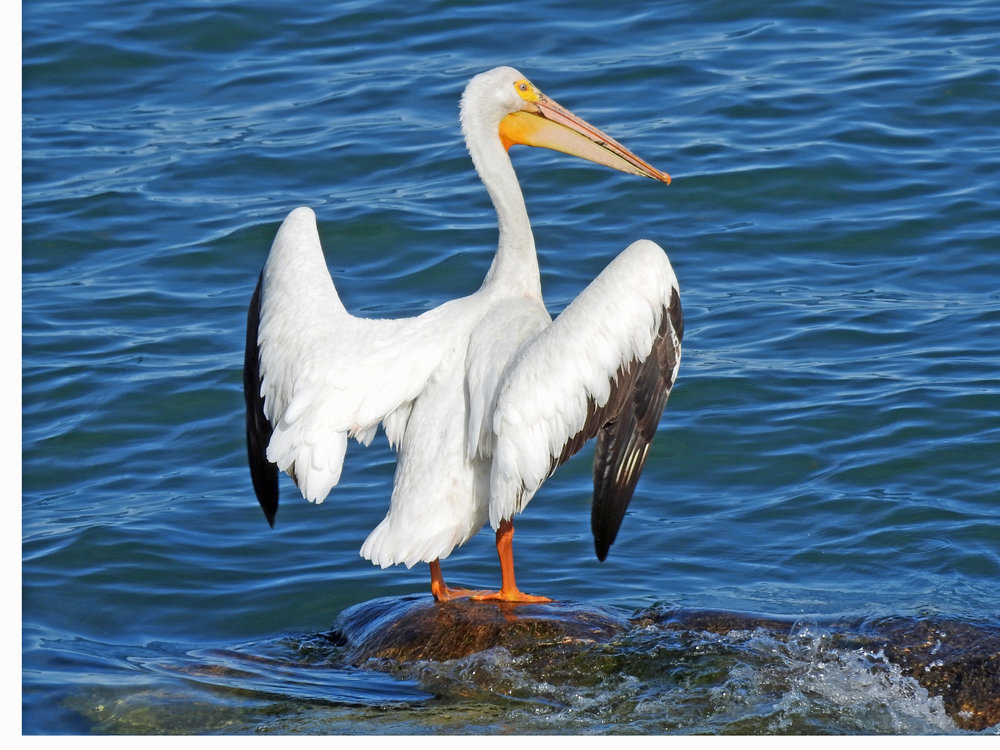 This picture of an American white pelican standing on a rock in Lake Michigan was taken from our yard by Bob Kuhn on June 12, 2016, at 5:18 p.m.